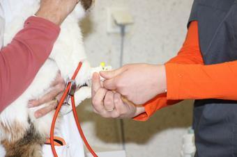 Préparation chirurgie, clinique vétérinaire des iles