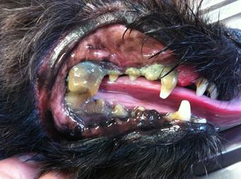 Avant soins dentaires, clinique vétérinaire des iles