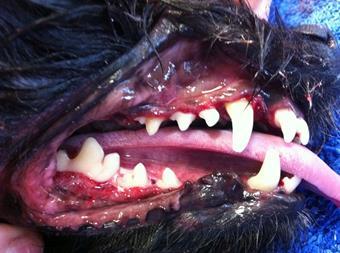 Après soins dentaires, clinique vétérinaire des iles